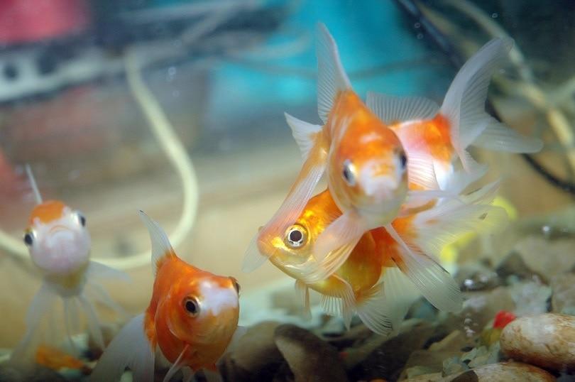goldfish-in-aquarium_antoni-halim_shutterstock