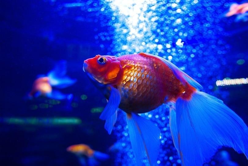 goldfish ryuikin diving underwater_Kateryna Mostova_shutterstock