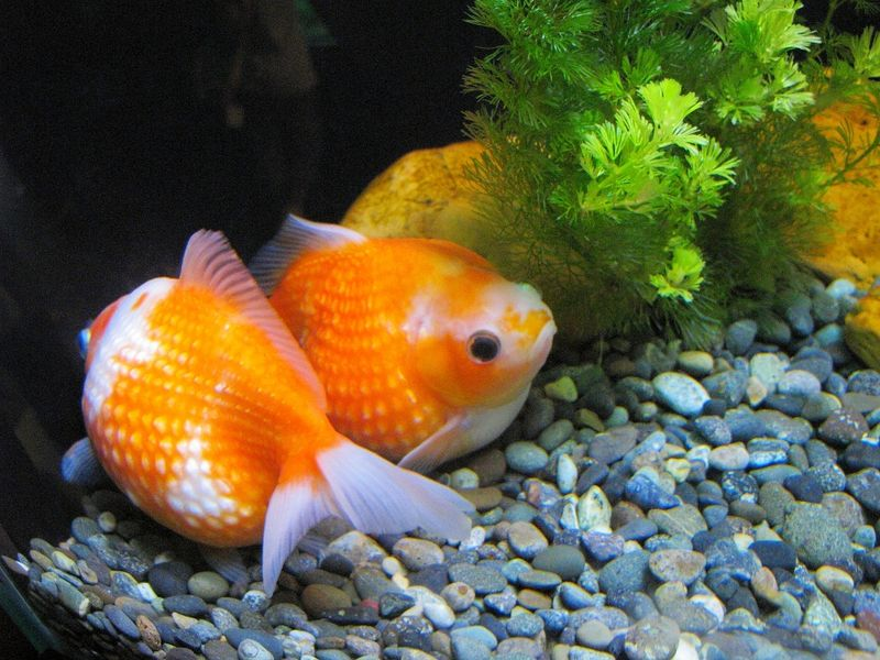goldfish with gravel