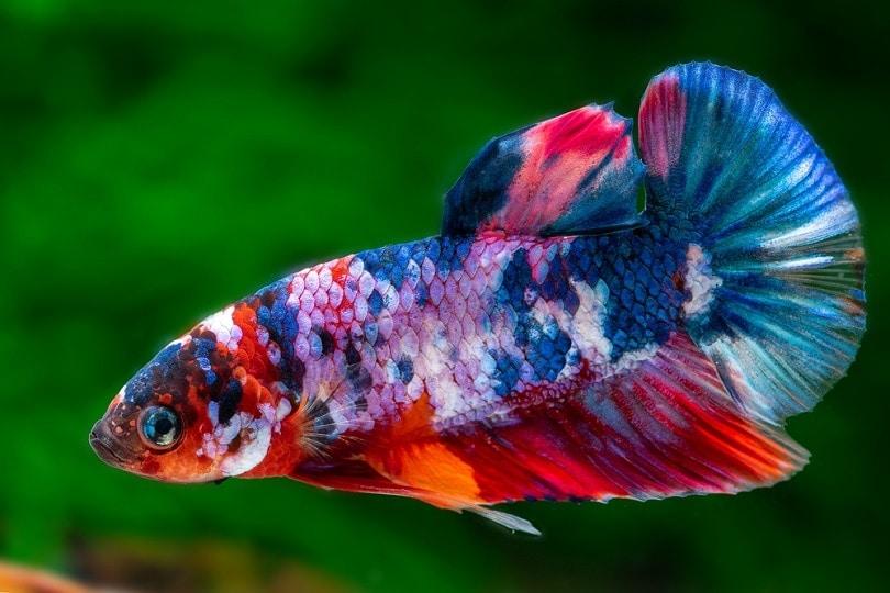 koi-betta-fish-male_Ron-Kuenitz_shutterstock