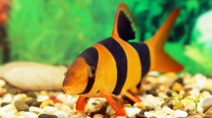 loach-fish_Grigorii-Pisotsckii_shutterstock