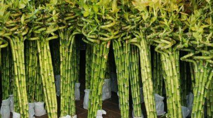 lucky-bamboo_asharkyu_shutterstock