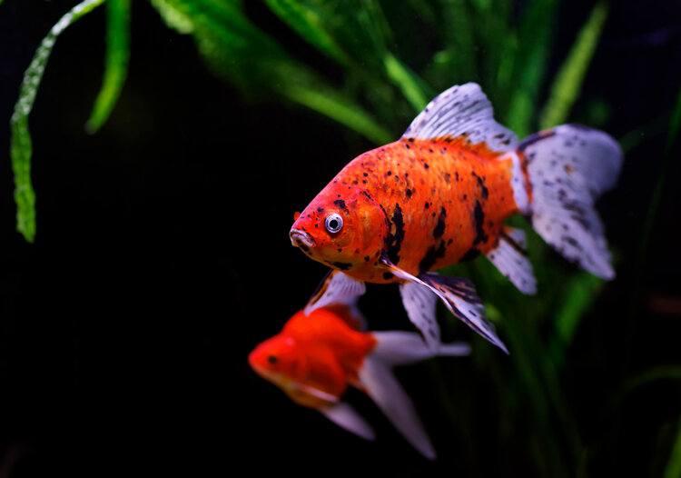 male goldfish black background