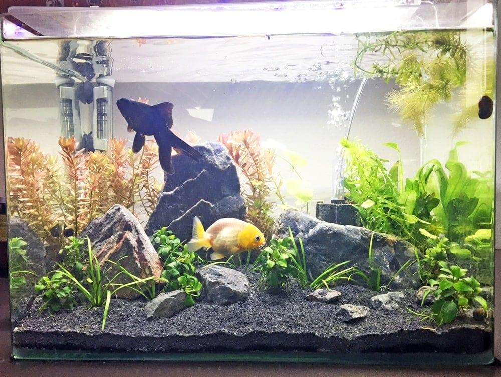 pennplax10 gallon curved glass aquarium
