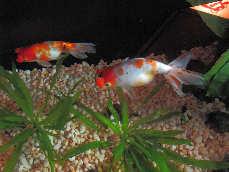 pompom fishes