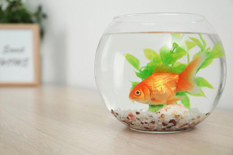 small goldfish in goldfish bowl