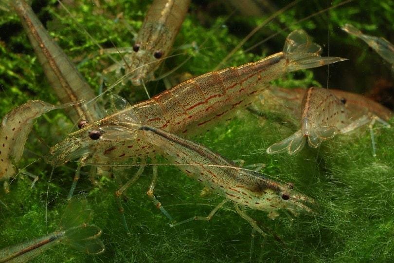 troupe (a group of amano shrimp)