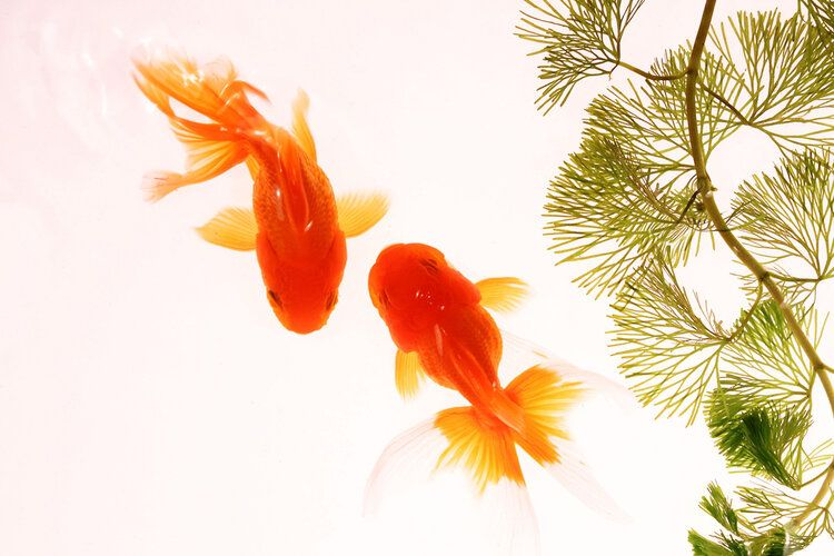 two goldfish view from above