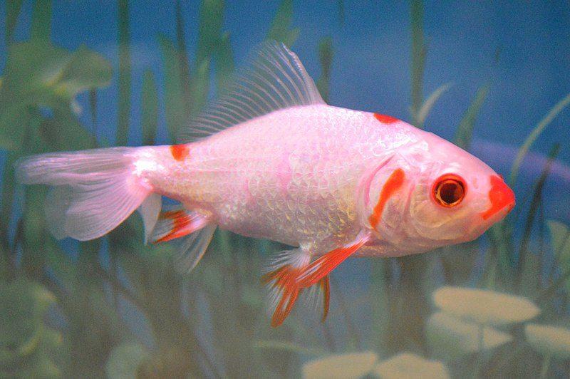 wakin goldfish
