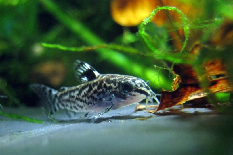 Dwarf Corydoras Catfish