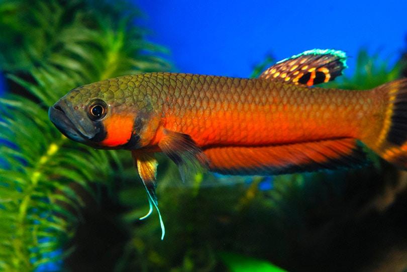 Spotfin Betta in aquarium