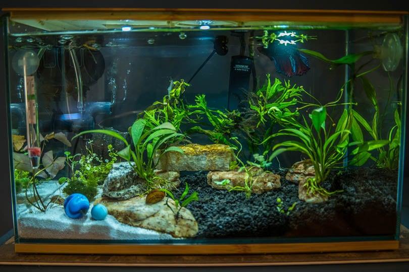 Three gallon betta fish aquarium with live aquatic plants