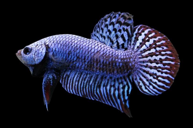 alien betta fish