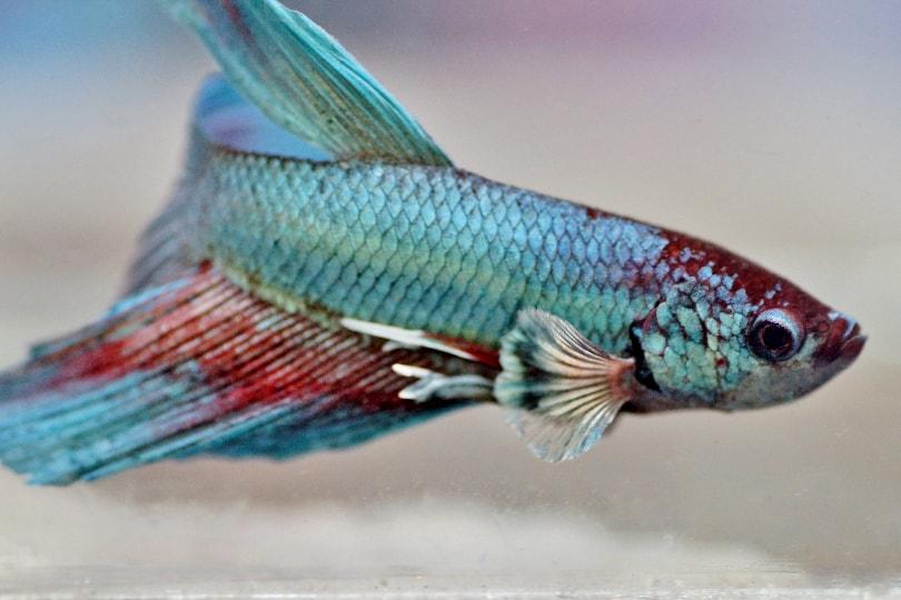 betta fish fading color