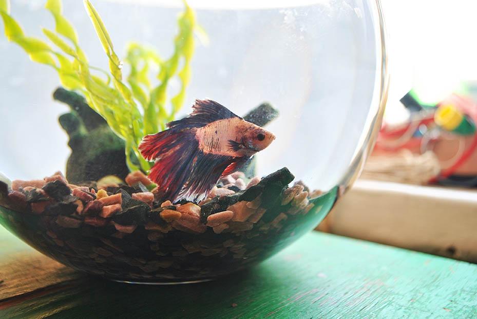 Betta Fish in a Bowl