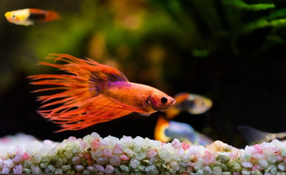 betta fish swimming near the substrate in the aquarium