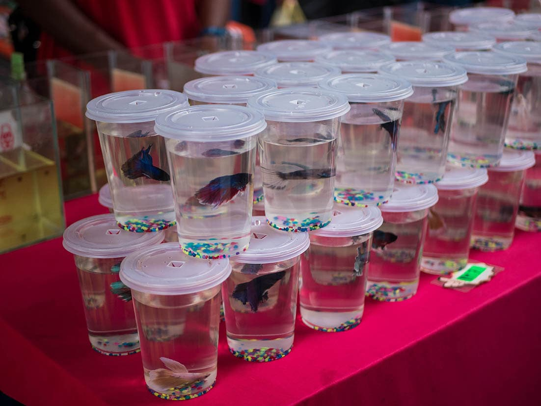 Betta fishes in cups