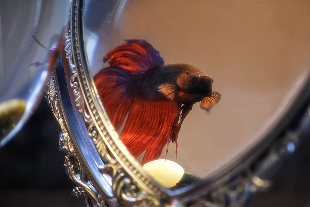 betta looking at the mirror
