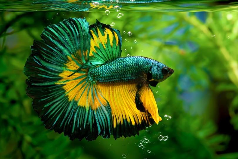 betta slendens in aquarium_panpilai paipa