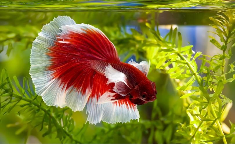 betta splendens in aquarium