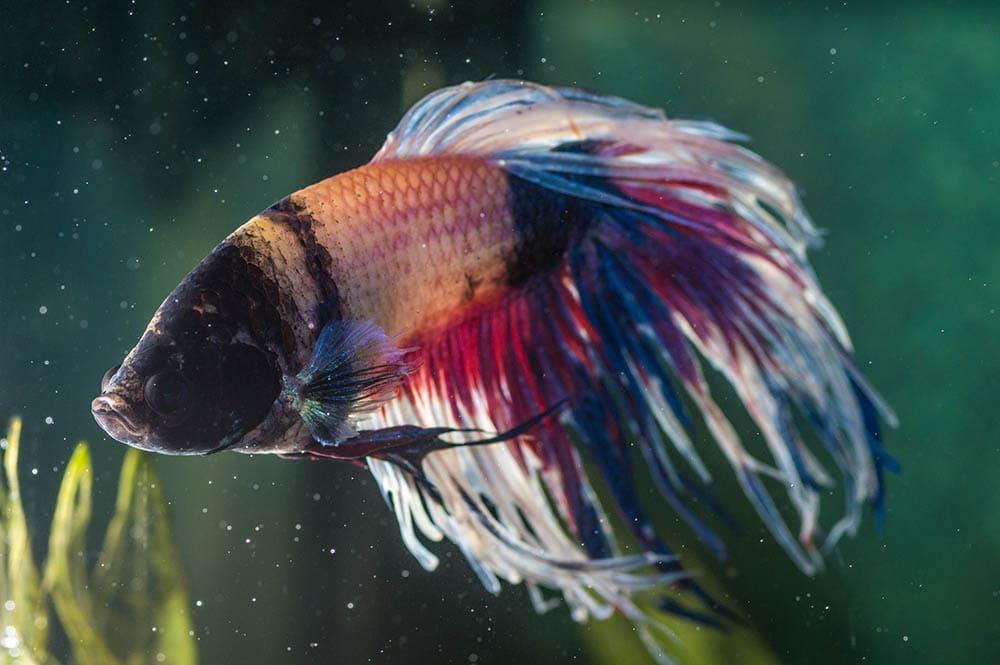 closeup sick betta fish