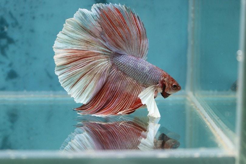 giant betta fish in tank