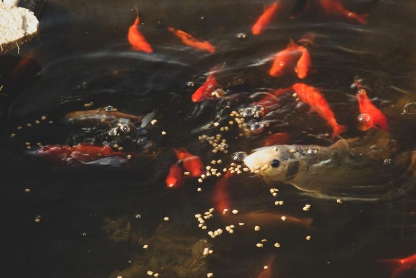 koi fish eating pellets