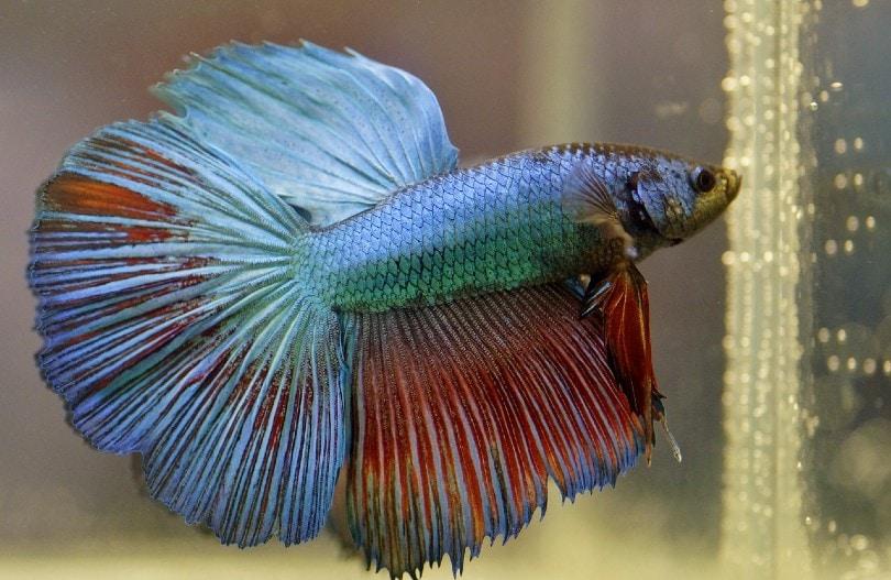large betta fish