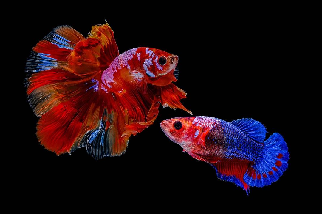 male and female thai betta fish