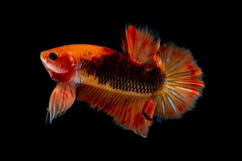 orange betta fish