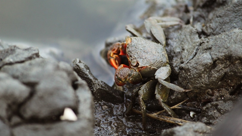 red claw crab on rocks