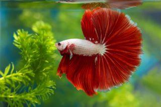rosetail betta in aquarium