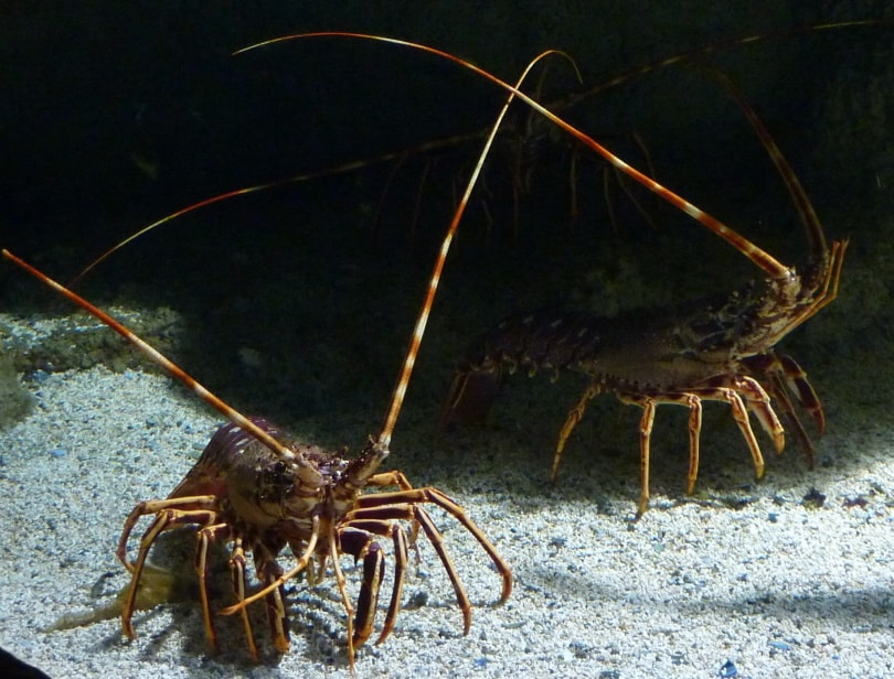 sea lobster in sand
