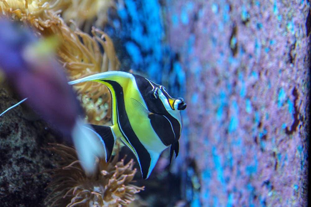 black and white anglefish
