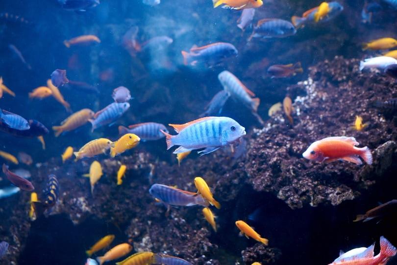 cichlids in aquarium