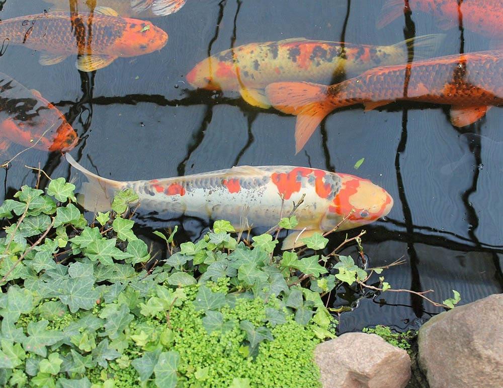 close up koi pond