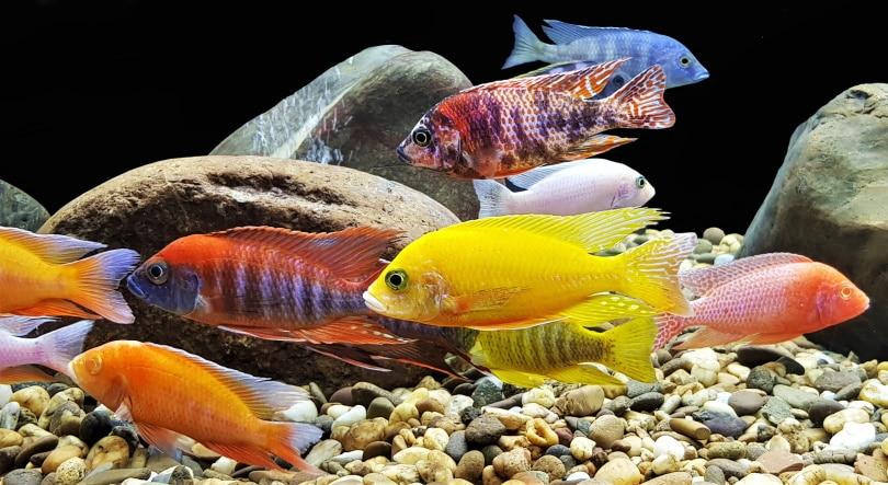 colorful cichlids in aquarium