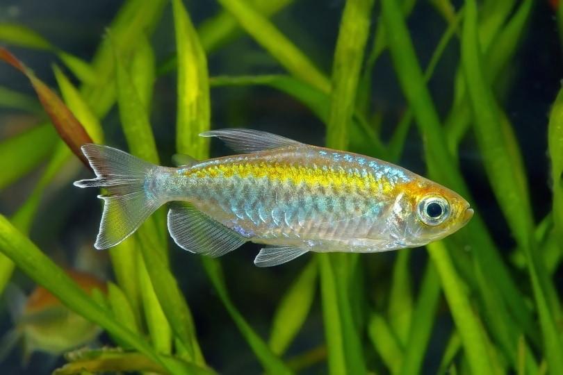 congo tetra fish in aquarium