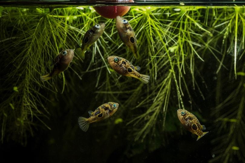 dwarf pufferfish in aquarium