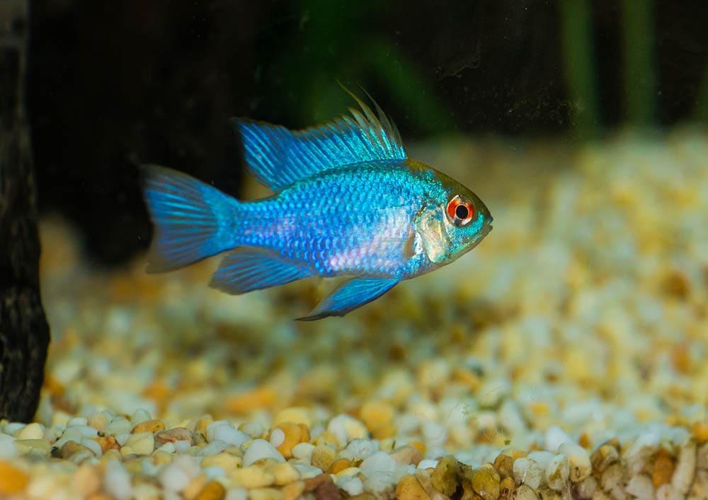 electric blue ram cichlid