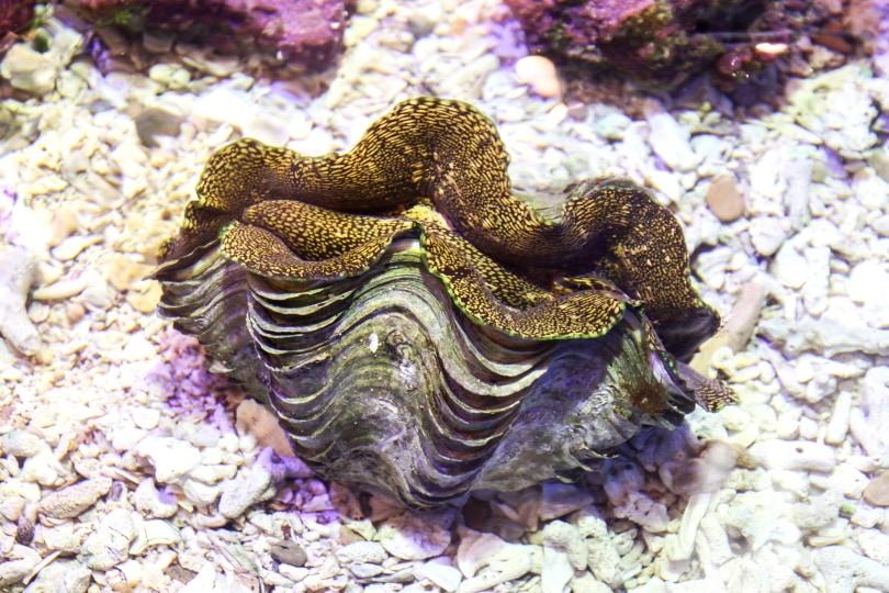 giant clams in aquarium