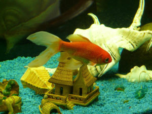 goldfish in tank with ornament