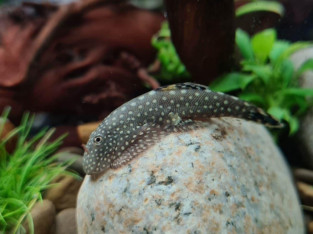 hillstream loach fish