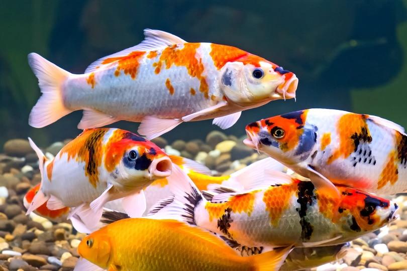 koi fish in aquarium