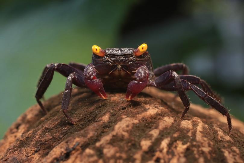 purple vampire crab