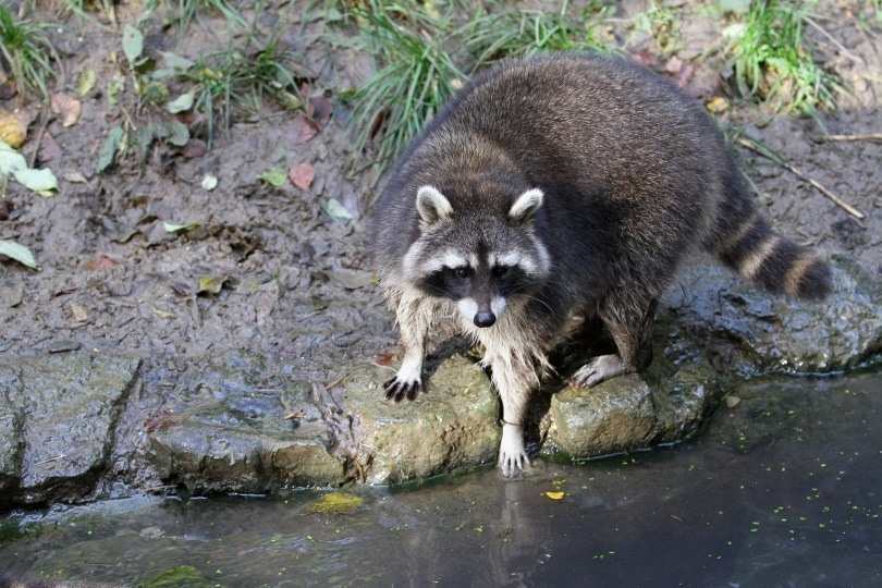 raccoon in the pond