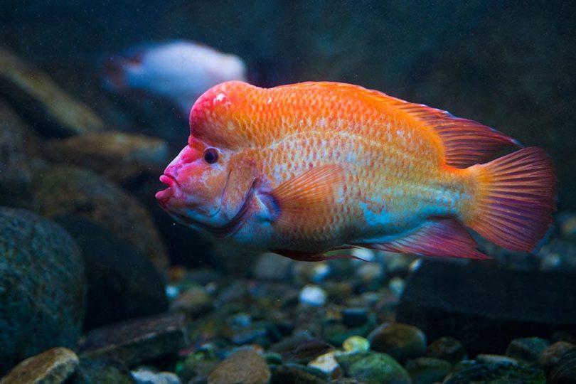 Red devil cichlid
