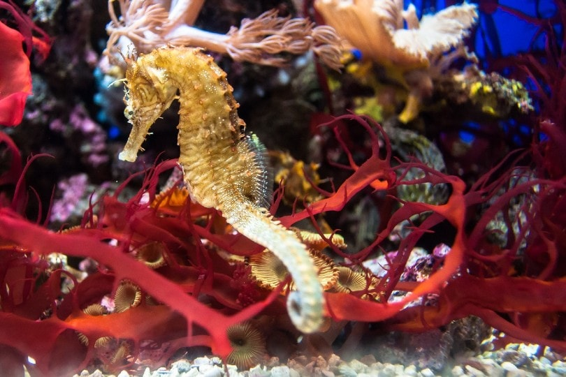 seahorse inside tank