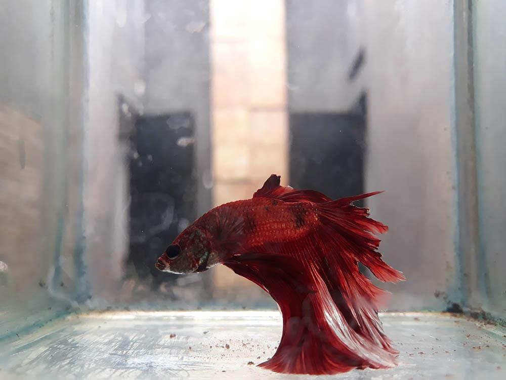sick red betta fish
