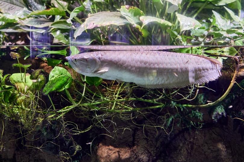 silver arowana fish in aquarium